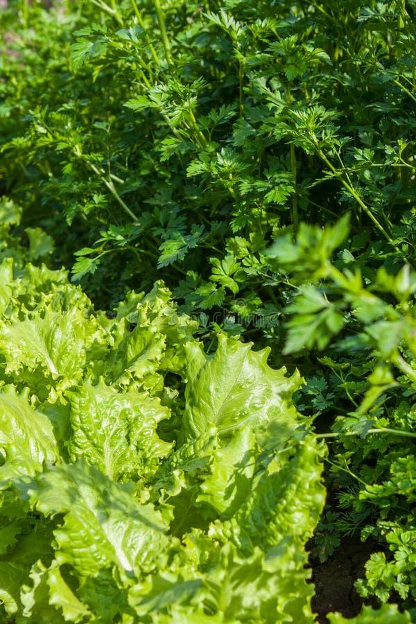 Download Свежие петрушка и салат стоковое фото. изображение насчитывающей макрос - 40578712