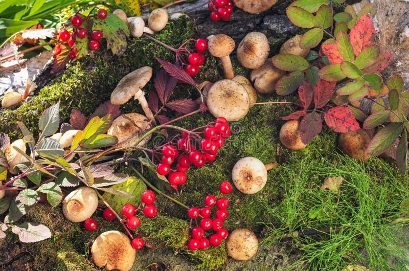 Свежие пластинчатые грибы меда на предпосылке зеленого мха Красный viburnum стоковое фото