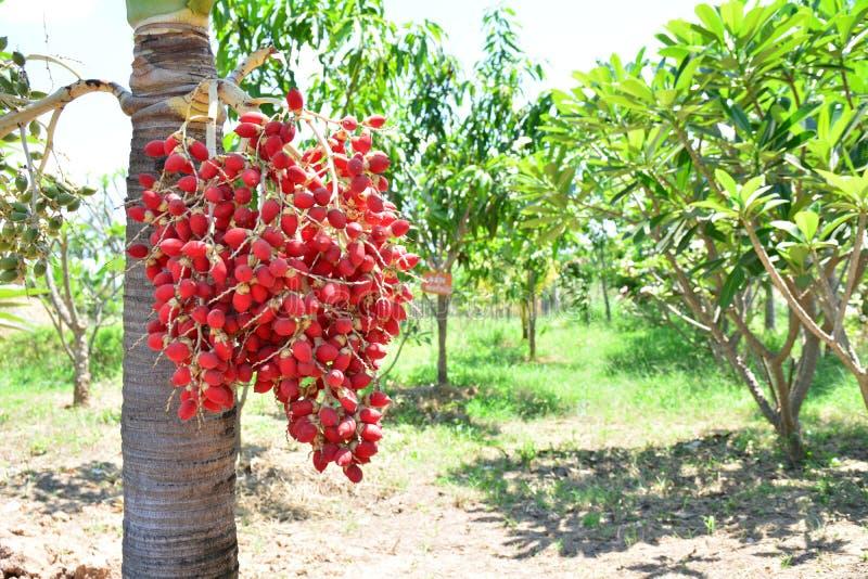 свежие плодоовощи масличной пальмы, селективный фокус Пальмовое масло, хороший баланс стоковые фото