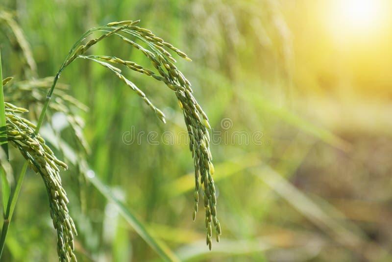 свежие рисовые поля в поле стоковое изображение rf