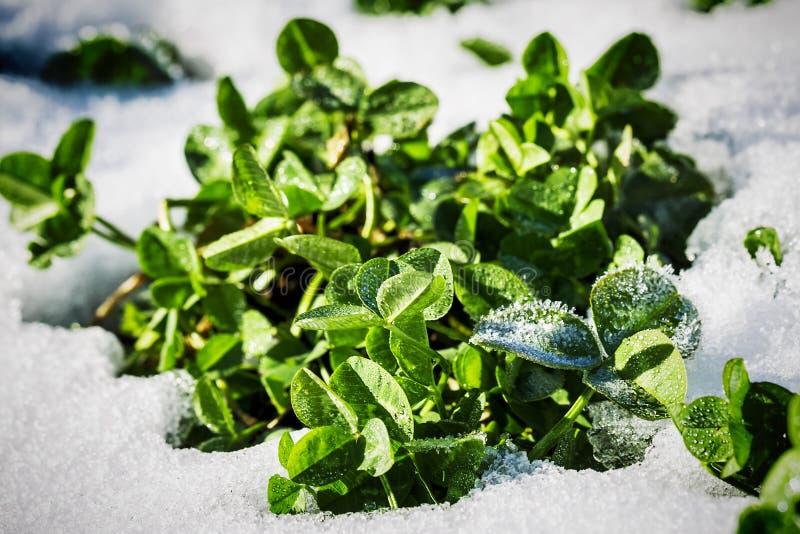 фото снег на зеленый росток активное
