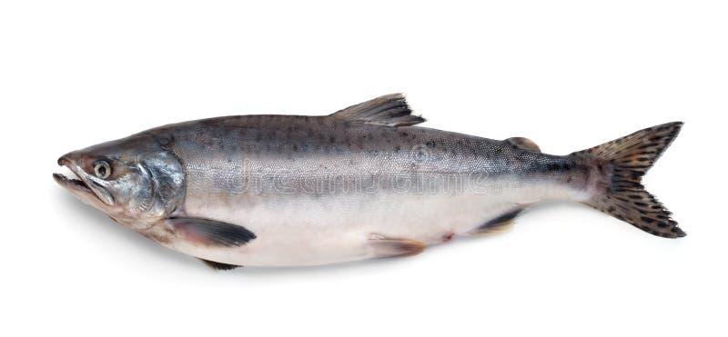 Свежие рыбы атлантических семг стоковые фотографии rf