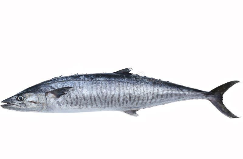 Свежие рыбы скумбрии короля стоковое изображение