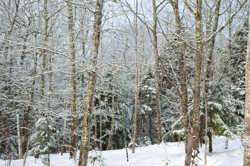 Свежие снежности леса стоковые изображения rf