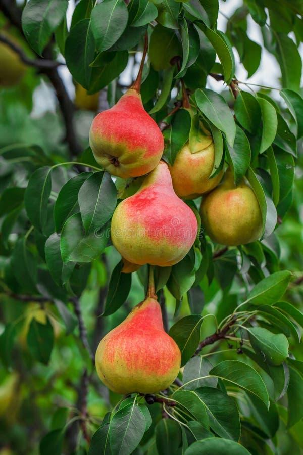 Свежие сочные груши на ветви грушевого дерев дерева Органические груши в естественном стоковые фото
