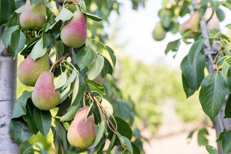 Свежие сочные груши на ветви грушевого дерев дерева Урожай груш в саде лета стоковое изображение rf