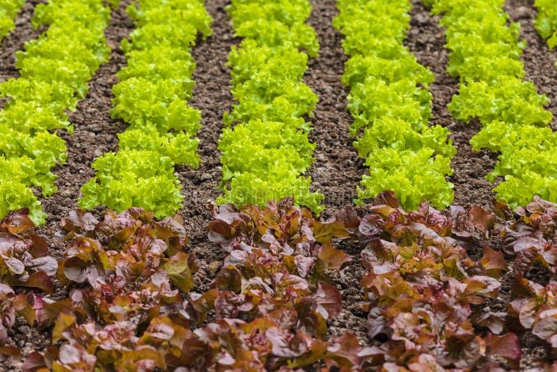 Свежие строки зеленого и красного салата на поле фермы стоковое фото rf