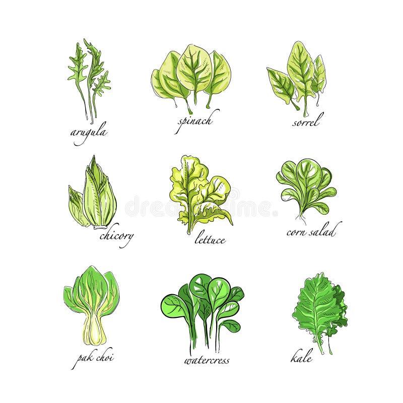 Свежие травы установили, arugula, шпинат, щавель, цикорий, салат, мозоль, bok choy, салат, кресс-салат, нарисованная рука заводов иллюстрация вектора