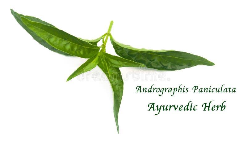 Свежие травяное, Kariyat или заводы Andrographis Paniculata стоковые изображения rf