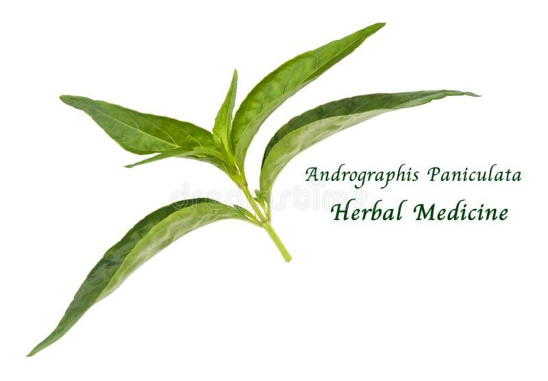 Свежие травяное, Kariyat или заводы Andrographis Paniculata стоковые изображения