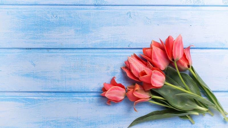 Свежие тюльпаны коралла на сини покрасили деревянную предпосылку стоковые изображения