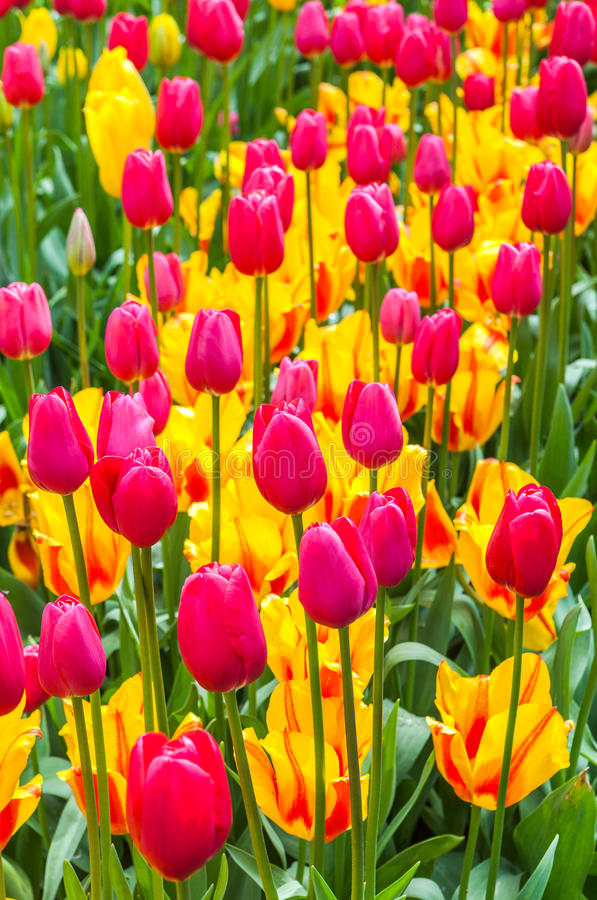 Download Свежие тюльпаны стоковое фото. изображение насчитывающей красивейшее - 81813386