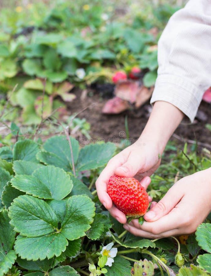 свежие фрукты выбирая лето клубник стоковое изображение rf