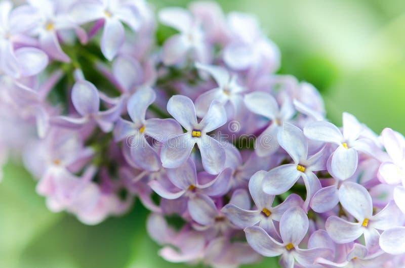 Свежие цветки сирени с запачканным backgroud стоковые изображения rf