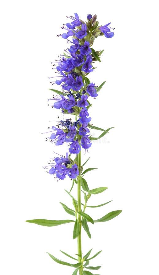Свежие цветки hyssop стоковые изображения