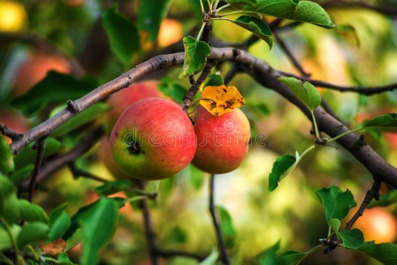 Свежие яблоки вися от ветви дерева, яблони в саде стоковое изображение rf