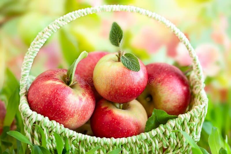 Свежие яблоки в корзине стоковые изображения
