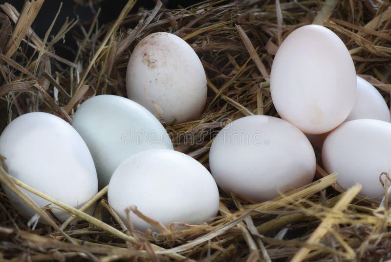 Свежие яичка утки стоковые фото
