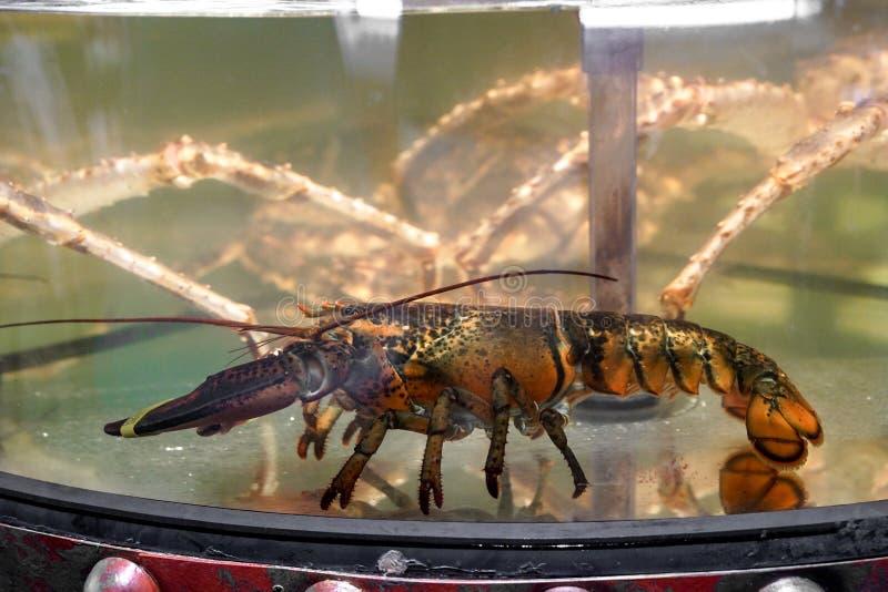 Свежие amerikan омары в садке для рыбы стоковые изображения