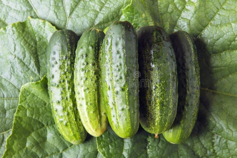 Свежий весь огурец на зеленых листьях еда принципиальной схемы здоровая Взгляд сверху стоковые изображения