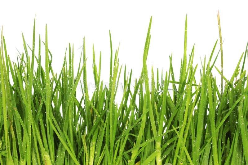 свежий дождь травы стоковые изображения