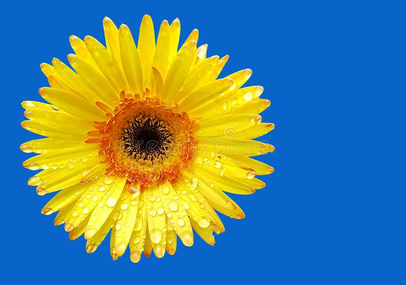 Свежий желтый цветок gerbera на предпосылке стоковые изображения rf