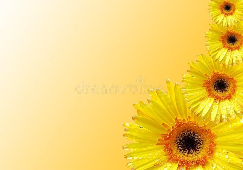 Свежий желтый цветок gerbera на предпосылке стоковые фото
