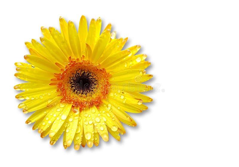 Свежий желтый цветок gerbera на предпосылке стоковое фото rf