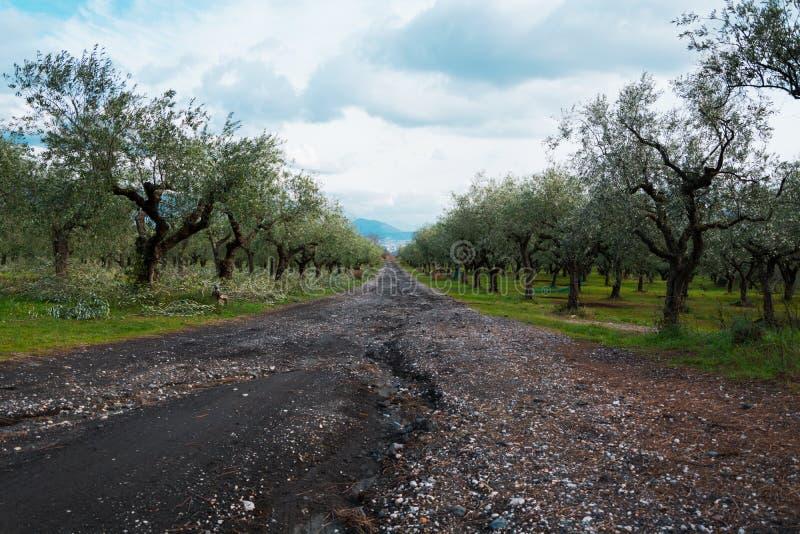 Свежий зеленый ландшафт сельской местности оливковых дерев стоковое изображение