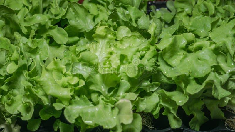 Свежий зеленый салат дуба готовый для еды в концепции нового рынка стоковые фотографии rf