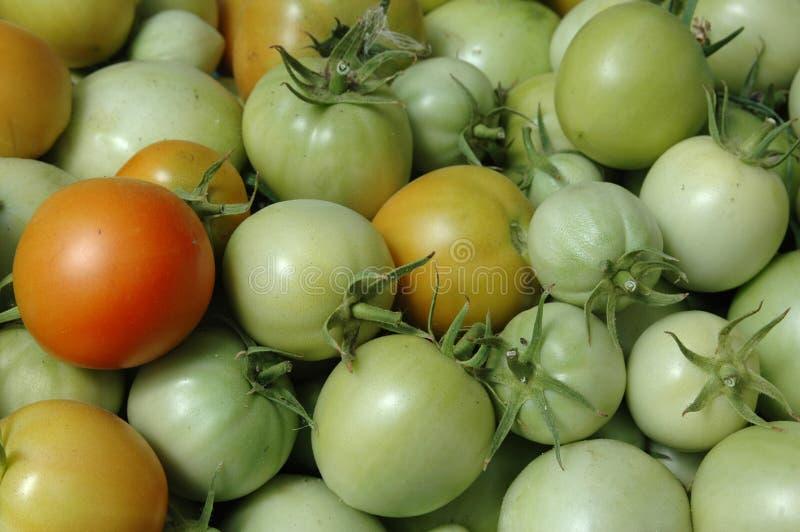 свежий зеленый томат стоковое фото rf