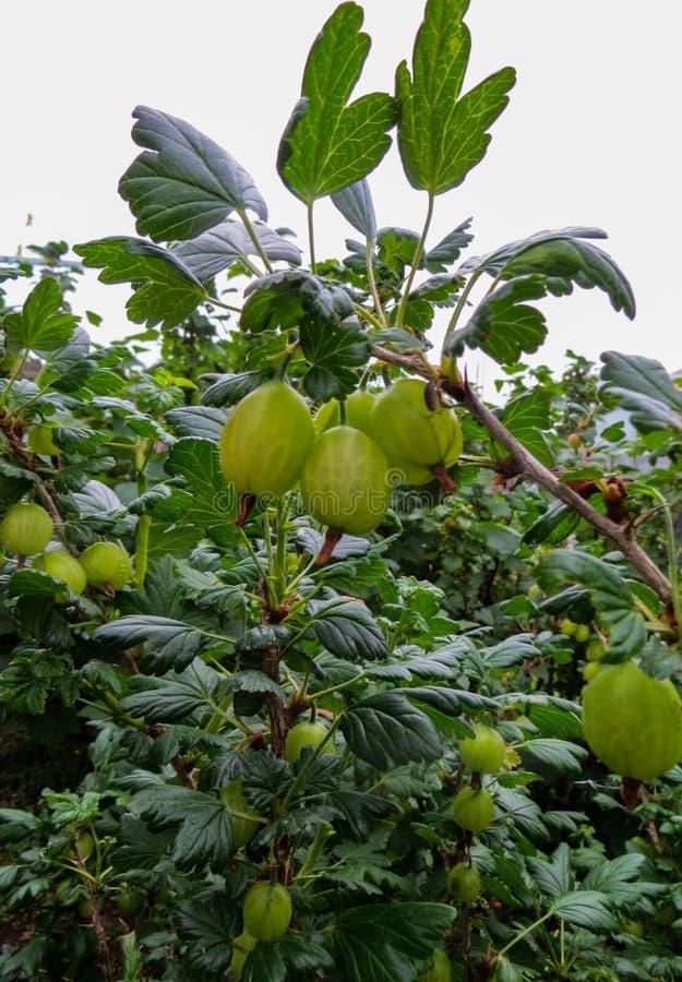 свежий зеленый цвет крыжовников Зрелый крыжовник в саде плодоовощ стоковая фотография rf