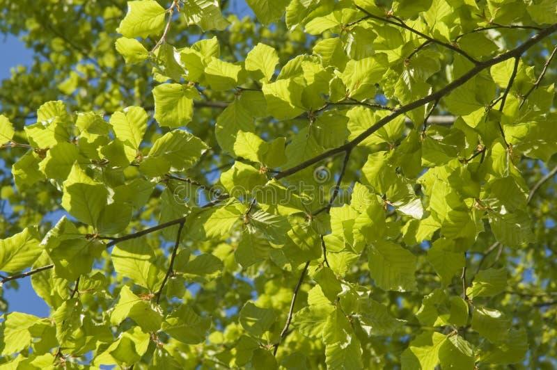 Свежий зеленый цвет листьев бука внутри может стоковое изображение rf