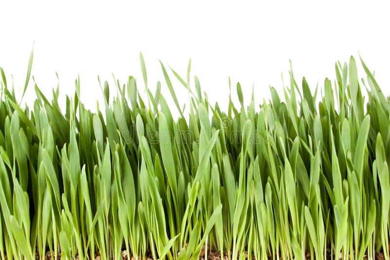 свежий зеленый цвет травы стоковые изображения