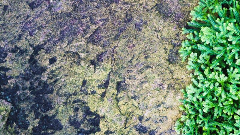 Свежий зеленый малый завод папоротников на каменной предпосылке Взгляд сверху с стоковое изображение rf