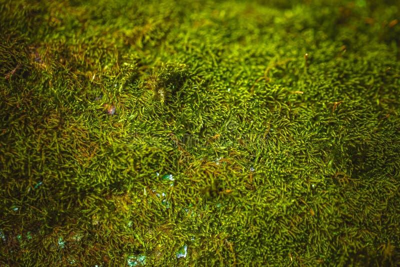 Свежий зеленый мох растя близкая поднимающая вверх предпосылка стоковые фотографии rf