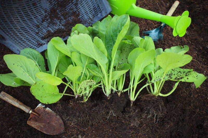 Свежий зеленый овощ выходит с садовничая инструментом в домашний сад стоковое изображение