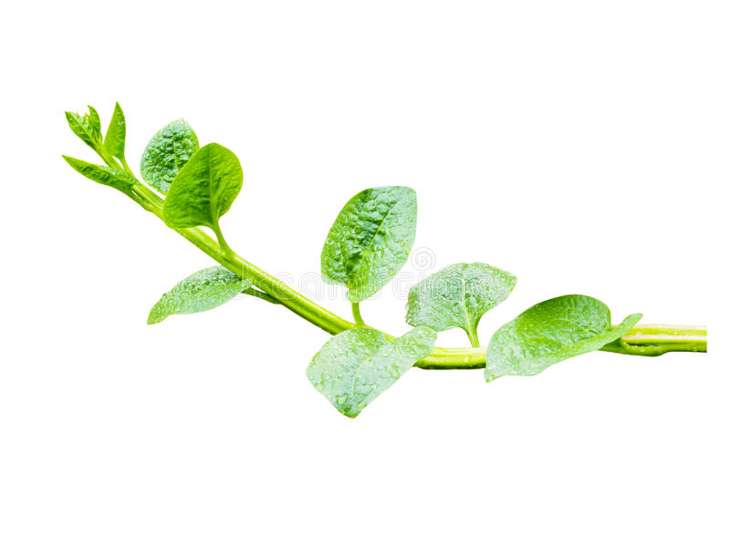 Свежий зеленый плющ изолированный на белизне стоковое изображение rf