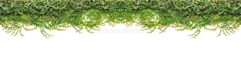 Свежий зеленый плющ изолированный на белой предпосылке Украшение сада стоковая фотография rf