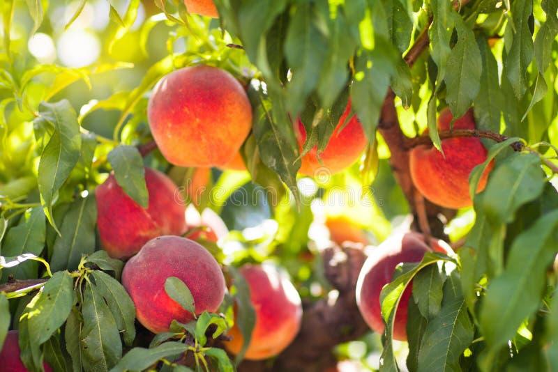 Свежий зрелый персик на дереве в саде лета стоковая фотография