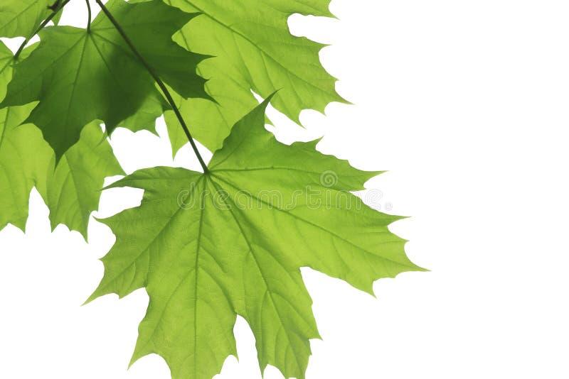 свежий клен листьев стоковые фото