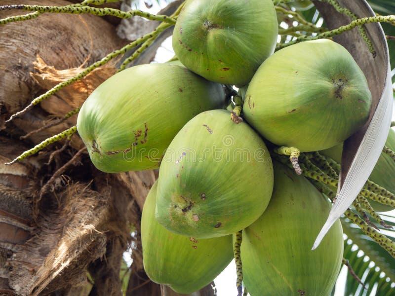 Свежий кокосовый орех на кокосовом дереве стоковое фото rf