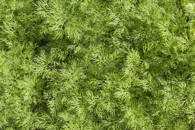 Свежий конец травы укропа вверх стоковое фото