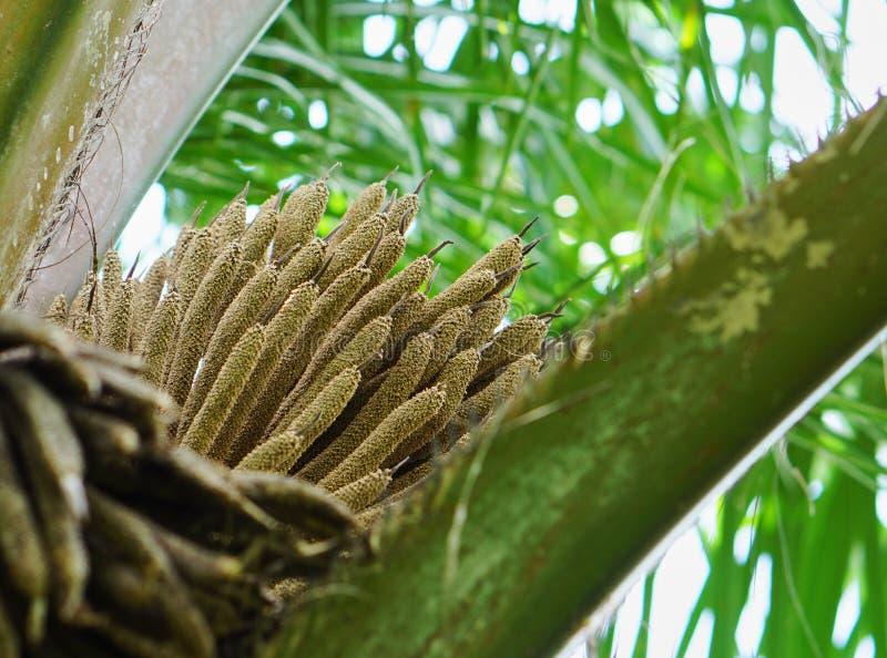 Свежий масличной пальмы цветения стоковое изображение rf