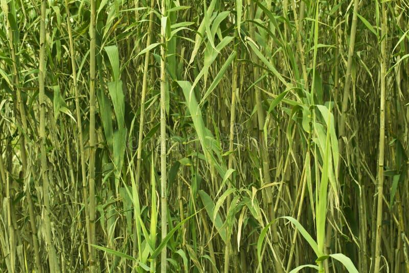 Свежий молодой бамбук стоковая фотография rf