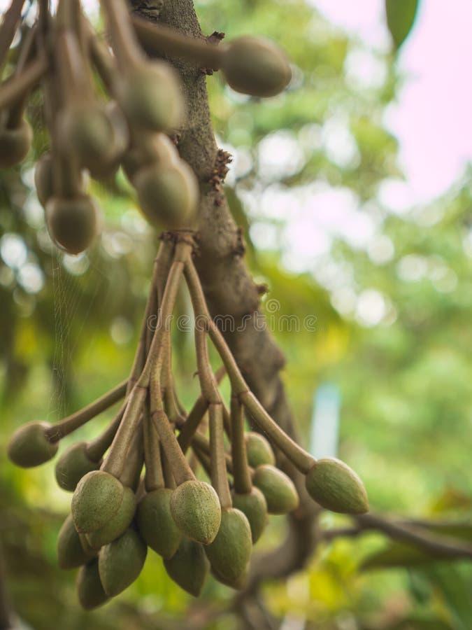 Свежий молодой плодоовощ дуриана стоковые фото