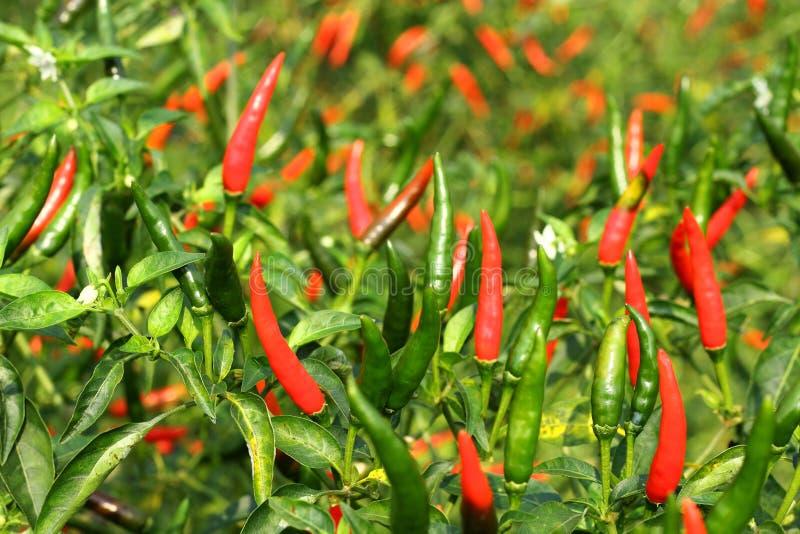 Свежий перец горячего chili стоковое изображение