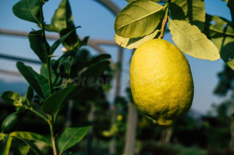Свежий плод лимона в саде стоковая фотография rf
