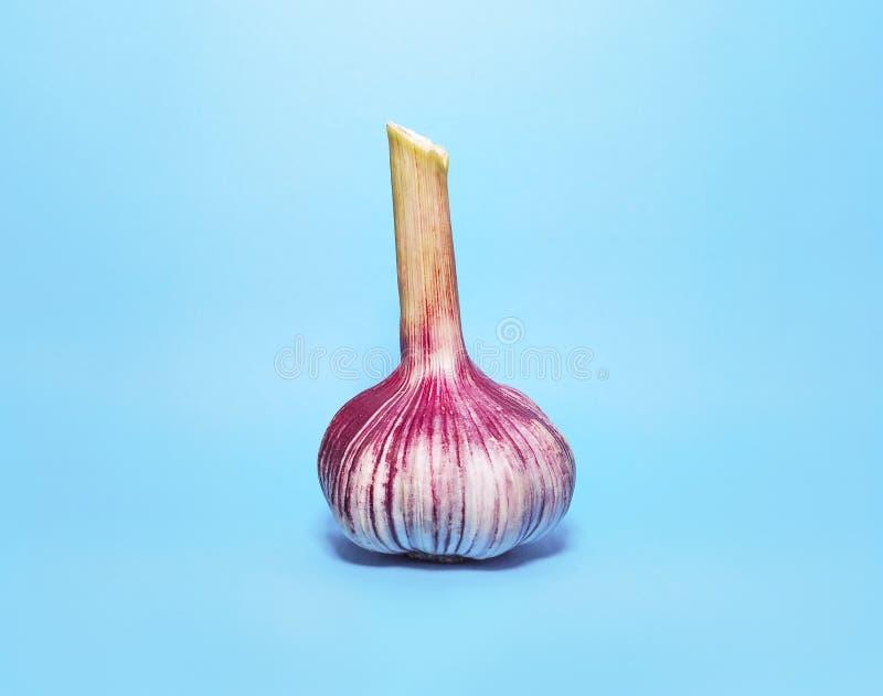 Свежий пурпур и зеленая голова чеснока, шарик на светлом - голубая предпосылка стоковые фотографии rf