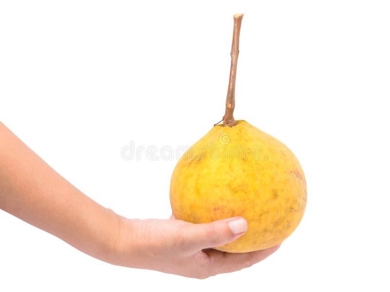 Свежий плодоовощ santol в руке изолированной на белизне стоковое фото